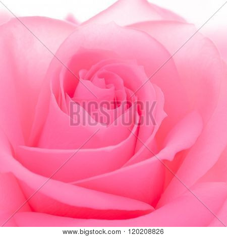 Beautiful Pink Rose Close up Photo. Macro Flower Background Image