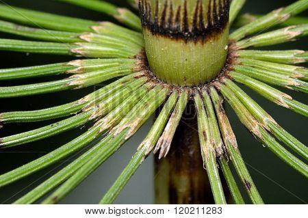 Great horsetail (Equisetum telmateia)