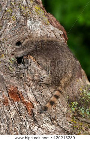Young Raccoon (procyon Lotor) Pokes Head Into Knothole