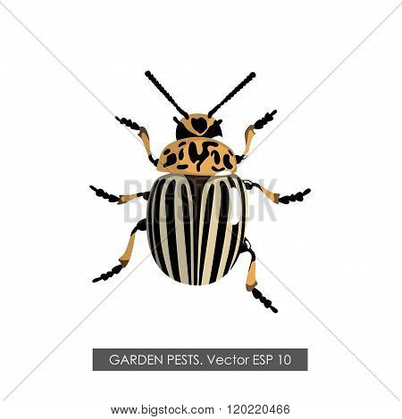 Detailed Drawing Of The Colorado Potato Beetle . Isolated Object On A White Background