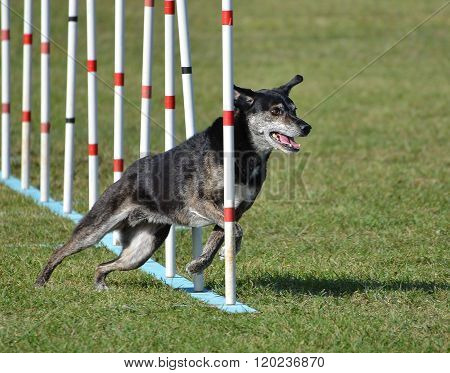 Mixed-Breed Dog doing Weave Poles at Dog Agility Trial poster