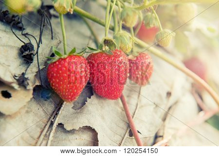 Fresh Strawberry in the farm Tak ,Thailand. Filter : Vintage effected.