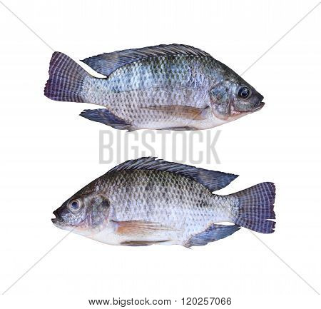 Fresh Tilapia or Mango fish of freshwater isolated on white background and clipping paths.