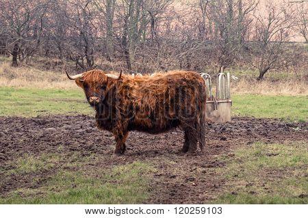 Scottish Highland Cow At A Farm