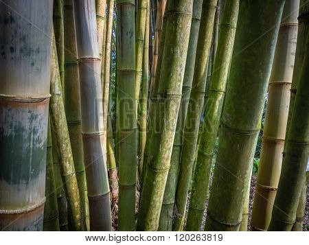 Bamboo forest in The Terra Nostra Gardens in Furnas,  on Sao Miguel island, Azores, Portugal poster