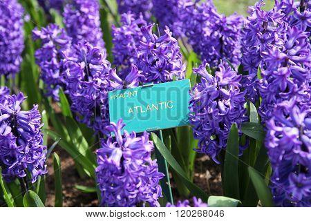 The Nameplate Hyacinth Atlantic