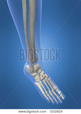 Skeletal Foot And Leg