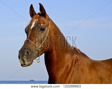 red horse with a small white spot on his head standing against the blue sky