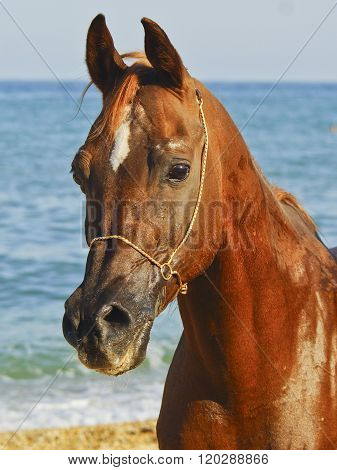 red horse with a small white spot on his head standing against the sea