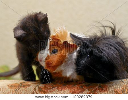 little red kitten sitting next to two hairy guinea pigs