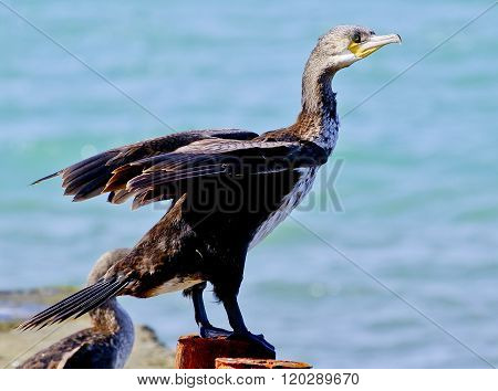 Black Cormorant sitting on a concrete pier spreading its wings on a sea background