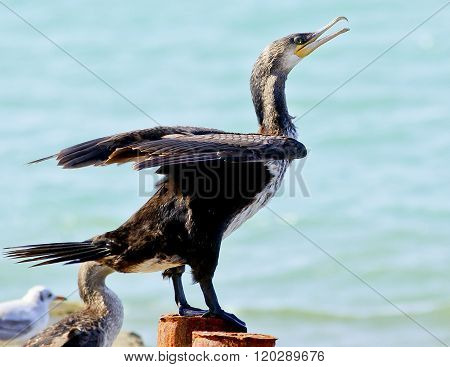 Black Cormorant sitting on a concrete pier spreading its wings on the sea background