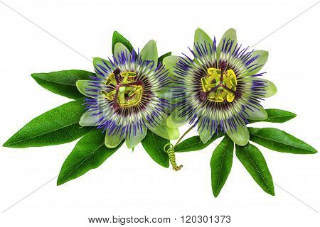 Passiflora Passion Flower homeopathic plant isolated clipping path included
