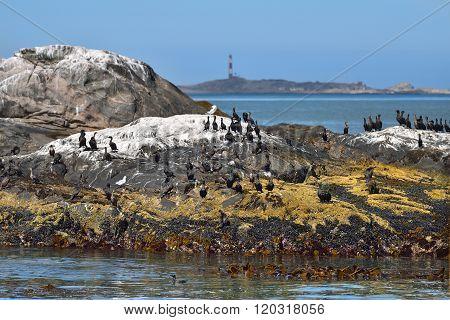 Cape Cormorants On The Rocks