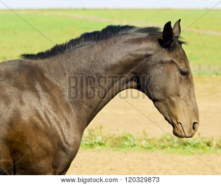 head of dark brown horse in a field on the sky background
