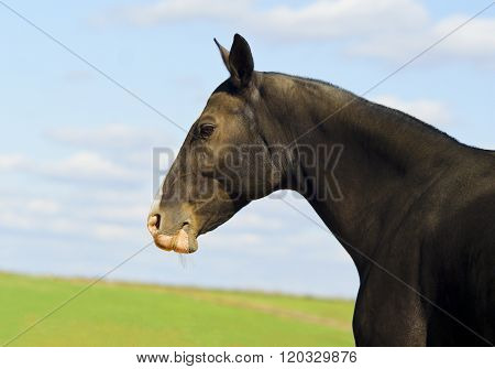 head of dark brown horse standing in a field on the sky background