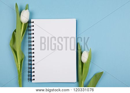 two white tulips on blue paper background