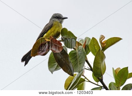 Yellow Grey Bird