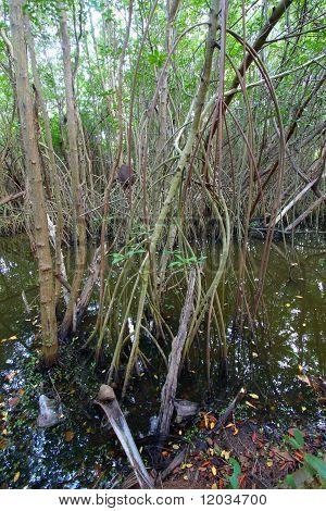 Mangroves Of Puerto Rico
