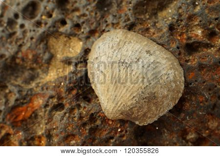 Fossilized sea shell on iron colored magmatic stone.