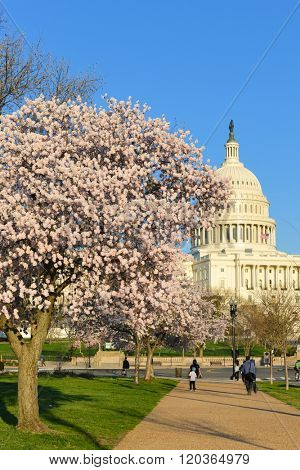 Washington DC in Spring time - US Capitol and spring blossoms