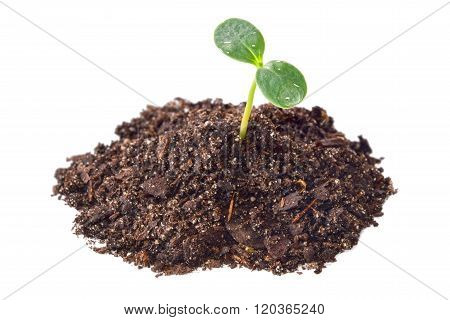 Green seedling in soil