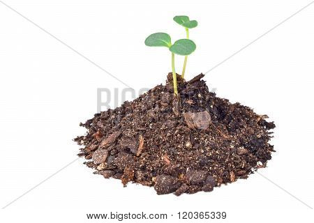 Two seedlings in dirt