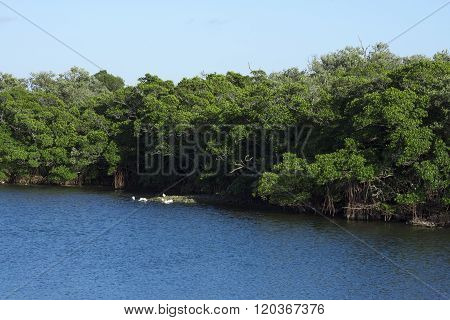 Mangrove Forest In Florida