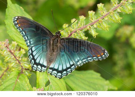 Red-spotted Purple Admiral butterfly resting on a Painted Nettle