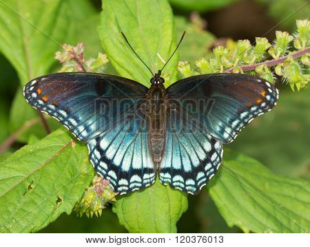 Red-spotted Purple Admiral butterfly resting on a Painted Nettle leaf