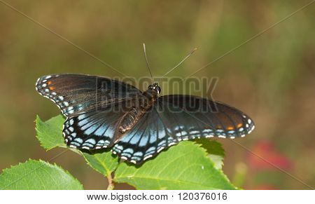 Red-spotted Purple Admiral butterfly resting on a rose leaf in summer garden