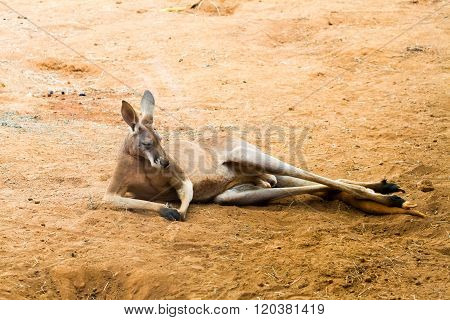Portrait of Red kangaroo over red sandy background