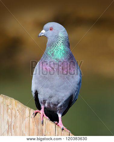 Pigeon (Rock Dove)