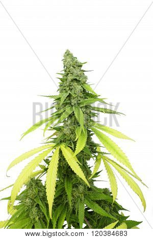 Big Leafy Cannabis Plant with Marijuana Buds Isolated By White Background