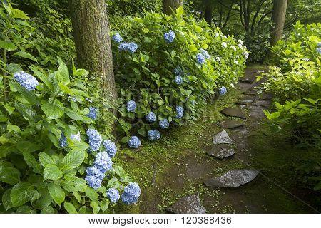 Hydrangea along footpath