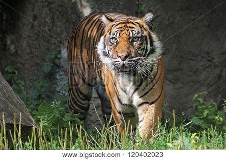 Sumatran Tiger in the Warsaw Zoo.