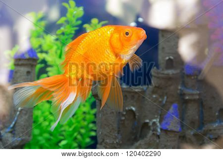 Goldfish Close Up
