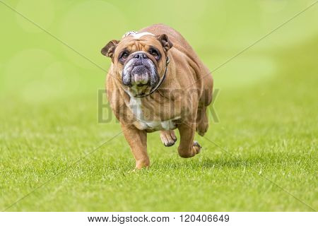 Overweight Running Bulldog