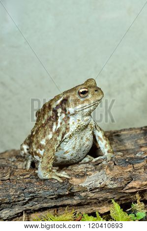 European common green frog in natural environment