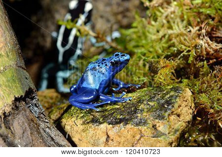 Blue poison dart frog in natural environment