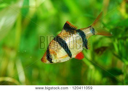 Tiger barb Puntius tetrazona over green plant background in aquarium