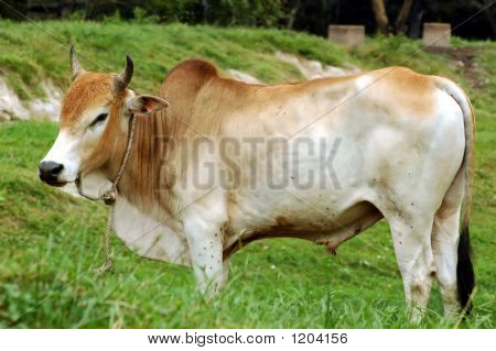 cow eating grass on an open field