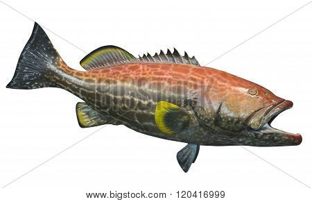 Large yellowfin grouper, isolated