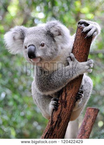 Closeup of koala in Australia