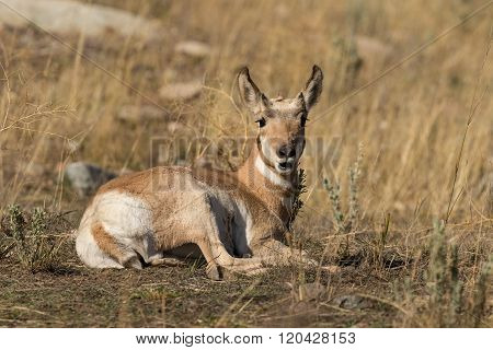 Bedded Pronghorn Antelope fawn