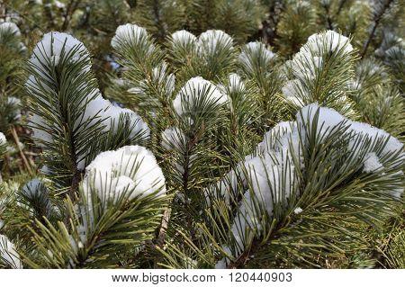 Snow on Pine