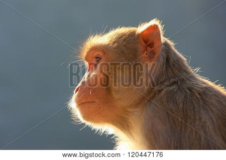 Portrait Of Rhesus Macaque In Jaipur, Rajasthan, India.