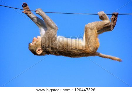 Rhesus Macaque Playing On A Wire Near Galta Temple In Jaipur, Rajasthan, India
