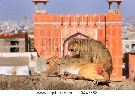 Rhesus Macaque Laying On A Wall Near Suraj Pol In Jaipur, Rajasthan, India