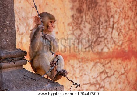 Young Rhesus Macaque Playing With Barbed Wire In Jaipur, Rajasthan, India
